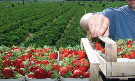 Workers pick strawberries near Freiburg. Germany is among the countries implicated in a new report on forced labour. Photograph: Rothermel/AP
